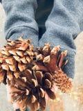 Pinecones i hand arkivbild