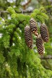 Pinecones of Norway Spruce Stock Photo