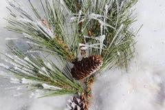 Pinecones och snow Arkivbild