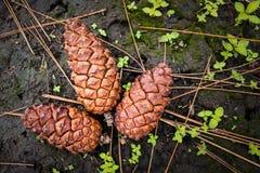 Pinecones op grond Royalty-vrije Stock Fotografie