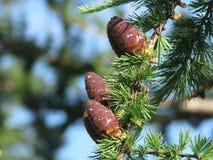 Pinecones på filialer Royaltyfri Bild