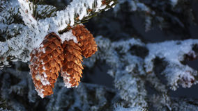 Pinecones Snowcovered Photo libre de droits