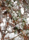 Pinecones su un ramo in neve Fotografie Stock Libere da Diritti