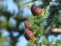 Pinecones sui rami Immagine Stock Libera da Diritti
