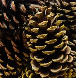 Pinecones. Up close of decorative pine cones stock photos