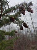 Pinecones w mgle obraz stock