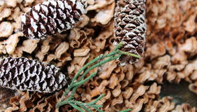 Pinecones and woodsy background Stock Image
