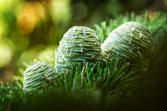 Pinecones Stock Images