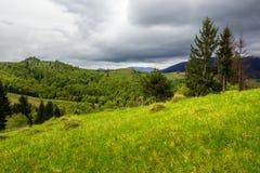 Pineforest on a mountain slope Photographie stock libre de droits
