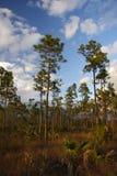 pinelands болотистых низменностей стоковые изображения