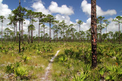 Pinelands en Jonathan Dickinson State Park images stock