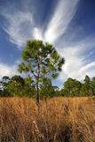 Pinelands Landscape Royalty Free Stock Photos