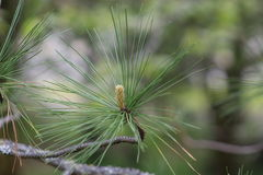 Pineneedles longo Foto de Stock Royalty Free