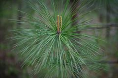 `piner` long leaf pine tree close up photo with budding pine cones royalty free stock images