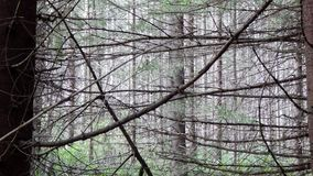 Pinery,beautiful forest Stock Photos