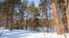 Pinery do inverno Os troncos vermelhos dos pinhos imagens de stock royalty free