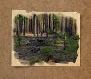 Pinery forest landscape, through pine needles on the ground peep. Berries and mushrooms, low bushes. Russian watercolor landscape painting on paper with a torn Stock Image