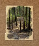 pinery forest landscape, through pine needles on the ground peep Royalty Free Stock Image