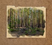 Pinery forest landscape, through pine needles on the ground peep. Berries and mushrooms, low bushes. Russian watercolor landscape painting on paper with a torn Royalty Free Stock Photo