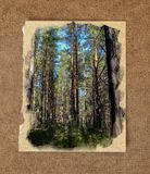 Pinery forest landscape, through pine needles on the ground peep. Berries and mushrooms, low bushes. Russian watercolor landscape painting on paper with a torn Royalty Free Stock Images
