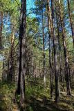 Pinery forest landscape, through pine needles on the ground peep Stock Photography