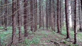 Pinery, schöner Wald Stockfotos