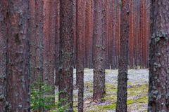 Pinery red trunks royalty free stock images
