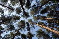 Pines. Pine forest and blue sky Royalty Free Stock Photography