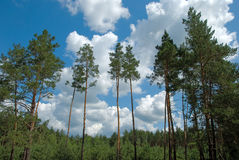 Pines. On a background of clouds and blue sky Royalty Free Stock Images