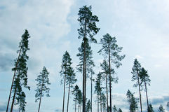 Pines royalty free stock photography