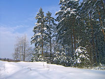 Pines. Winter landscape with pure snow, pines and the dark blue sky Royalty Free Stock Image