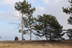 Pines. Three pines in the afternoon Royalty Free Stock Image
