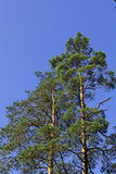 Pines Royalty Free Stock Images