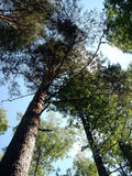 Pines. Grow in the sky royalty free stock image