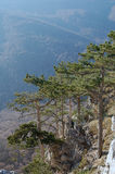 Pines above precipice. Several pines above precipice in haze Royalty Free Stock Images