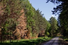 Pines affected during a fire in the Siberian forest. Forest road. stock image