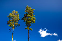 Pines against the blue sky. Two single pines against the blue sky in the summer royalty free stock photos