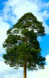Pines against the sky Royalty Free Stock Photos