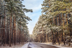 Pines along the country road Stock Image