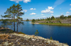 Pines ashore. Pines on stone coast of island in Ladoga lake Royalty Free Stock Photo