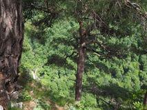 Pines att växa på ett stup av vaggar, som är nedanför en grön skog royaltyfria foton