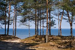 Pines at the Baltic Sea. Looking through Pine trees on the coast of the Baltic Sea Royalty Free Stock Photos