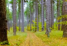 Pathway in a pines and beeches forest with a layer of yellow leaves. Pines and beeches trees with a yellow leaves layered pathway across them Stock Images