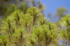 Pines branch. Es over the sky background stock photos