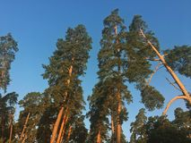 Pines. Building pines forest Royalty Free Stock Photos