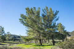 Pines in California Mountain Meadow Royalty Free Stock Image