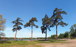 Pines in city park Royalty Free Stock Images