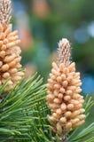 Pines cones Stock Image