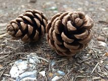 Pines cones Royalty Free Stock Images