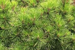 Pines are conifer trees. Stock Photo